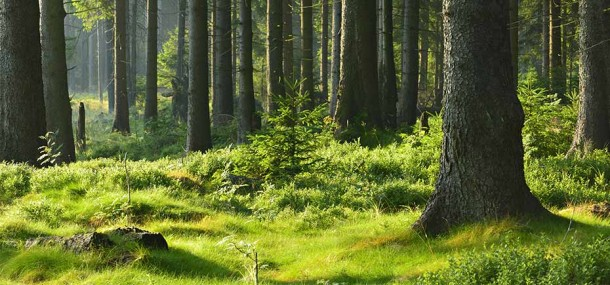 Image of a forest with plenty of trees